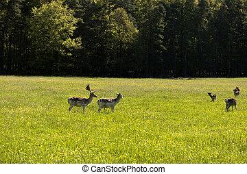 Deers in the Altmuehtal in Germany