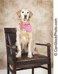 golden retriever studio portrait - a golden retriever dog...
