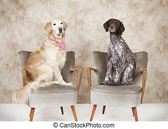 dog portrait - two dogs sitting on antique chairs in the...