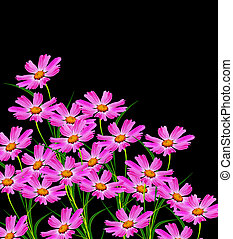 Cosmos flowers isolated on black background Beautiful spring...