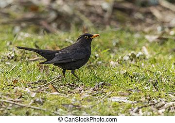 Blackbird Turdus merula - Amsel auf Nahrungssuche auf einer...