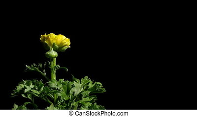 Ranunculus Flower Time-Lapse - Time-lapse of yellow...