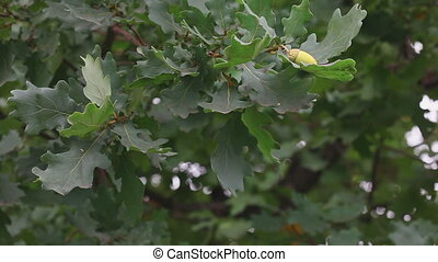 Oak leaves and acorns wind rustles