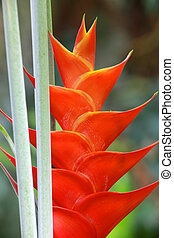 Erect heliconia flower - Erect heliconia crab lobster claw...