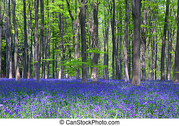 Bluebells in Beech wood - Bluebells and Beech trees in...