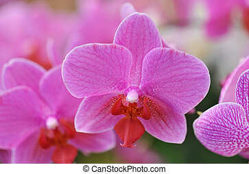 phalaenopsis - close-up of a beautif flower of phalaenopsis