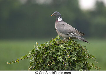 Woodpigeon perched on an Ivy covered post