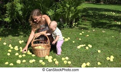 Adorable baby helps his young mother picking windfall apples fruits to wicker basket in garden. 4K