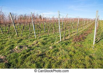 Vineyards in Winter - Vine plants on a field in winter