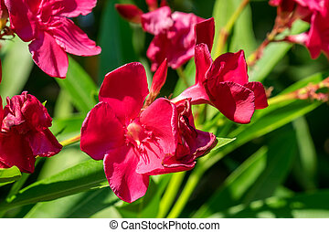 Pink oleander blossoms - Close-up of the flowers of a pink...