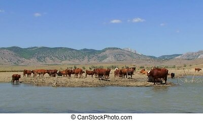 Herd Of Cows Standing Near Lake