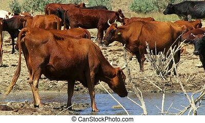 Herd Of Cows On Watering Place - Lots of brown cows standing...