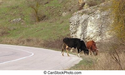 Two Cows Grazing Near Road - Brown and black and white cows...