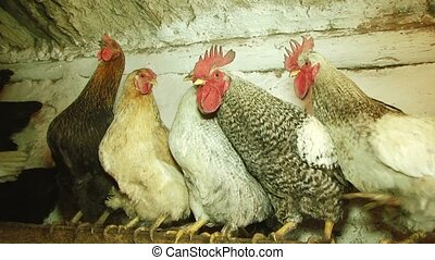 Several Chickens Sitting On Perch - Several multicolored...