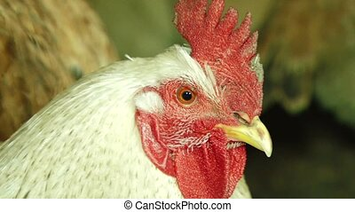 Portrait Of White Cock In Henhouse - CLOSE UP. Portrait of a...