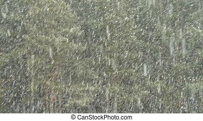 Snowfall in the pinery - Falling snow and pine wood. Winter...