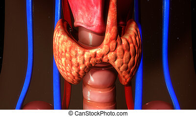 Thyroid gland - The thyroid gland, or simply the thyroid ,...