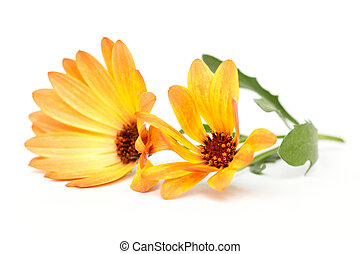 osteospermum - orange osteospermum on a white background