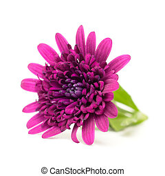 osteospermum on a white background