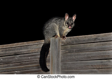 Possum sitting on the fence