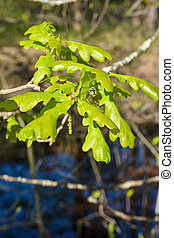 Young oak leaves Full-blown oak leaves on a branch on a...