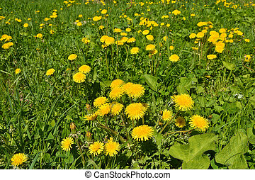 Blooming yellow dandelions in the spring meadow.