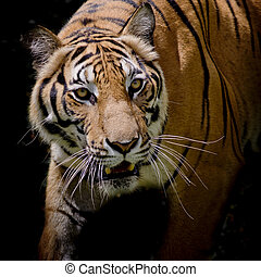 Beautiful tiger walking step by step isolated on black...