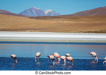 Flamingo in Bolivia - Flamingo in the lake of Bolivian...