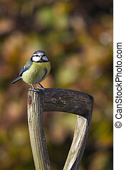 A Blue Tit perched on a spade handle
