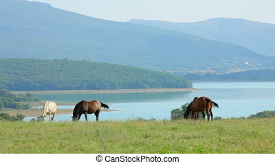 Herd Of Wild Horses Feeding At Pasturage - In the frame...