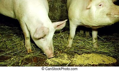Two Pigs Eating Fodder In Barn - CLOSE UP shot of two...