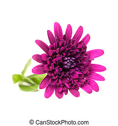 osteospermum - pink osteospermum on a white background