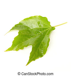 Parthenocissus tricuspidata on white background