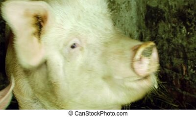 Domestic Pigs At Feeding Time - CLOSE UP Three frames...