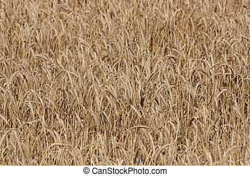 wheat field - full image of a wheat field