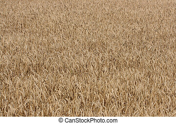 wheat farm - full image of a wheat farm