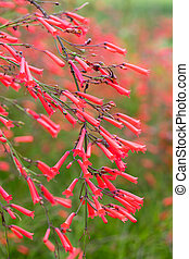 Russelia equisetiformis or firecracker plant flower - Close...