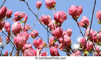 Magnolia flowers blossom on a blue sky