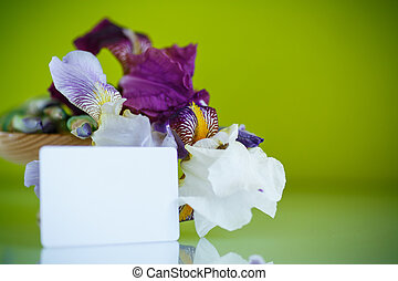 beautiful white with purple irises on a green background