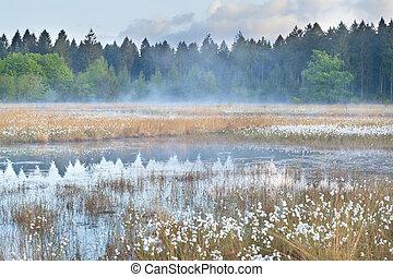 misty morning on wild forest swamp, Drenthe, Netherlands