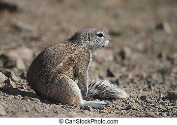 Ground Squirrel Sitting in Sun - Ground squrrel sunning...