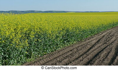 Rape seed field zoom out footage - Oil rape, canola plants...