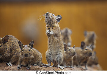 rodent degu walk with his fellow