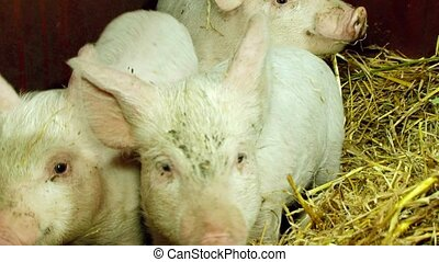 Three Domestic Piglets In Shed - This is a shot of three...