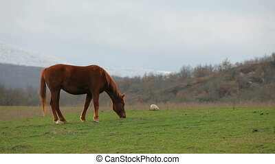 Beautiful Brown Horse Grazing In Meadow - This is a shot of...