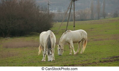 Two White Horses At Green Pasture - This is a shot of two...