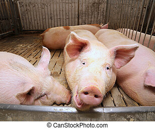 fat pigs in a sty on a farm - big and fat pigs in a sty on a...