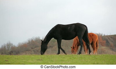 Black And Brown Horses Grazing In Field