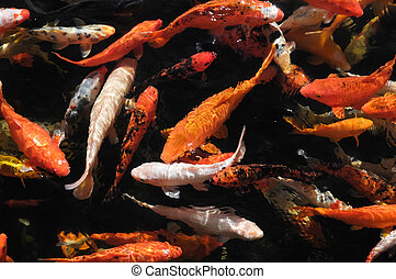 Many Colored Koi Carps in a Dark Pond