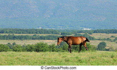 Mare And Foal Grazing In Mountains - Young foal going to his...